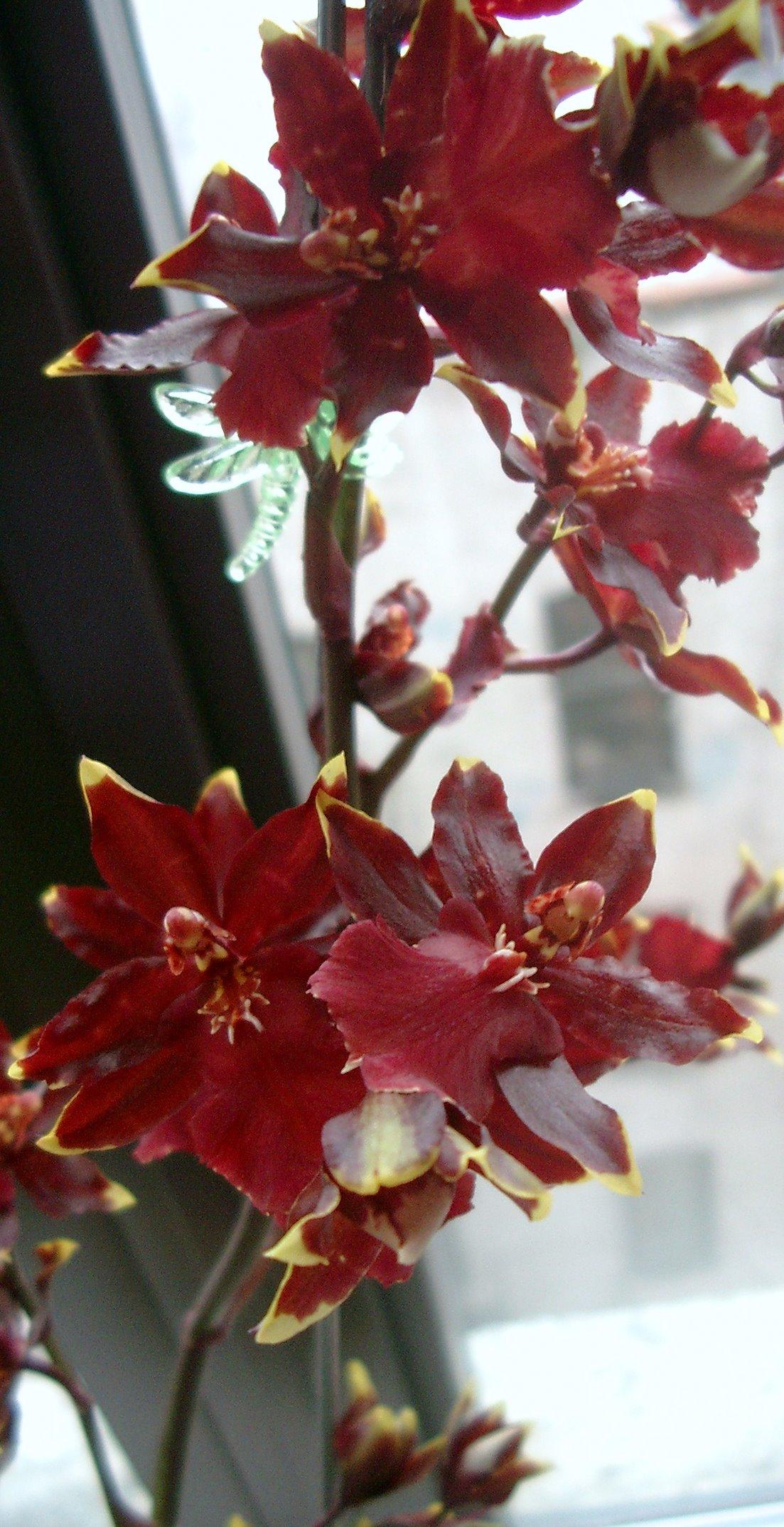 The Orchids Of Alexander G Dewitt Alexander G Dewitt